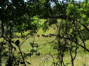 bison_6 julio (52)